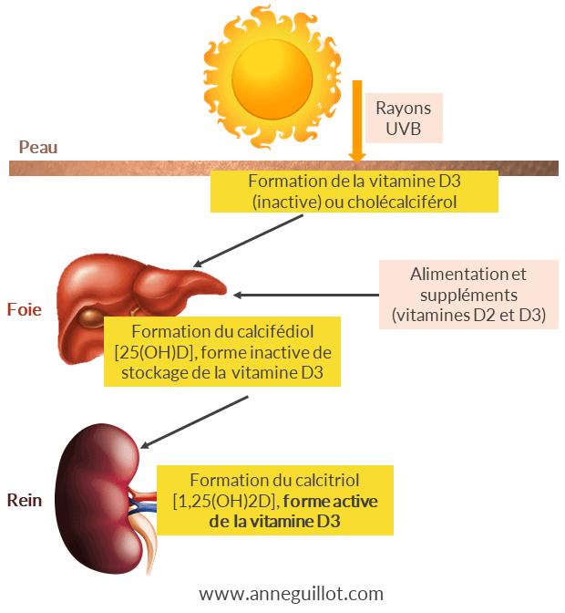 formation-de-la-vitamine-d-d3